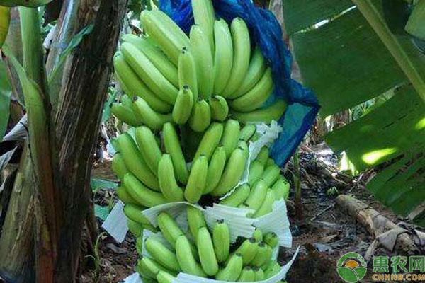 金陵香蕉价格