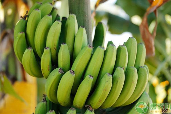 金陵香蕉产地