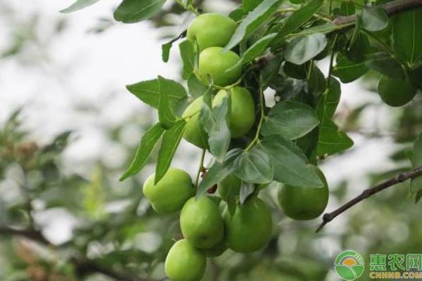 青枣价格多少钱一斤