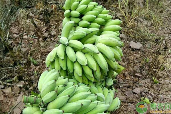 中山大粉蕉