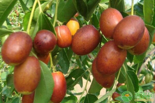 金丝小枣价格多少钱一斤?金丝小枣有哪些功效?