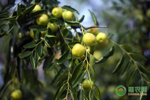 沾化冬枣价格多少钱一斤