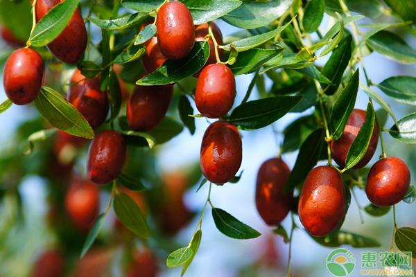 长红枣价格多少钱一斤
