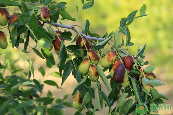 长红枣价格