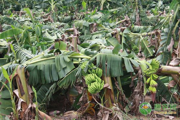 香蕉和芭蕉有什么区别?