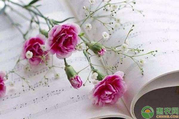 康乃馨的花语和寓意