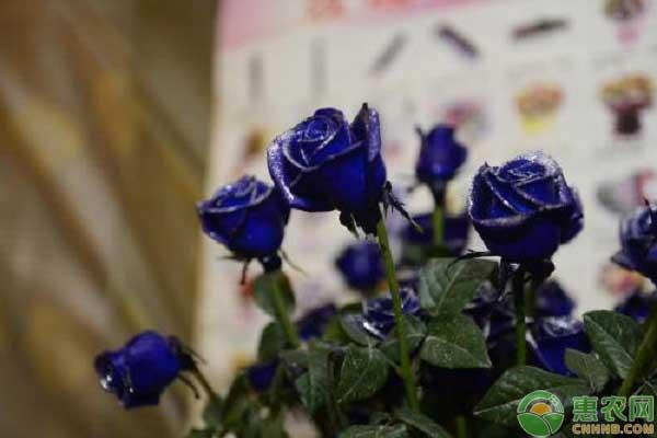 蓝色玫瑰的花语
