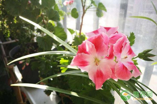 天竺葵常见品种介绍