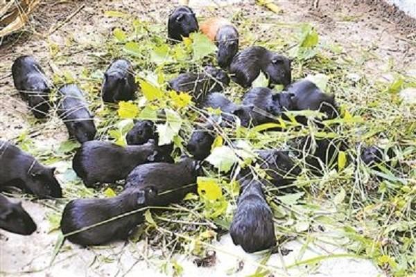 凌云县:豚狸养殖产业撬开脱贫致富大门!