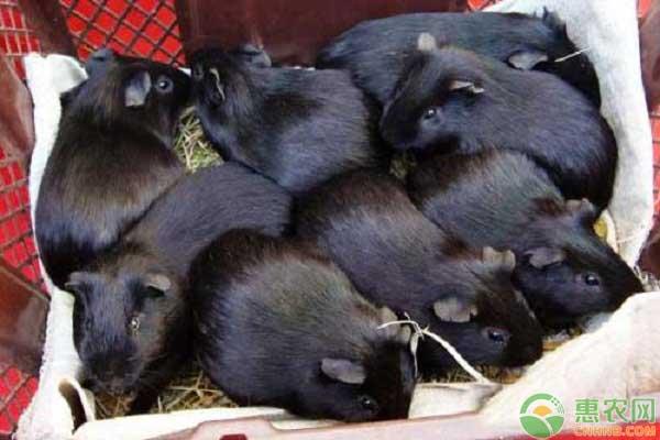 豚狸产业养殖