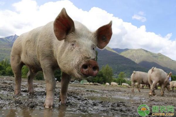 全国生猪最新报价
