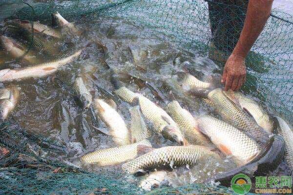 全国淡水鱼价格信息