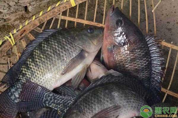 全国淡水鱼市场行情