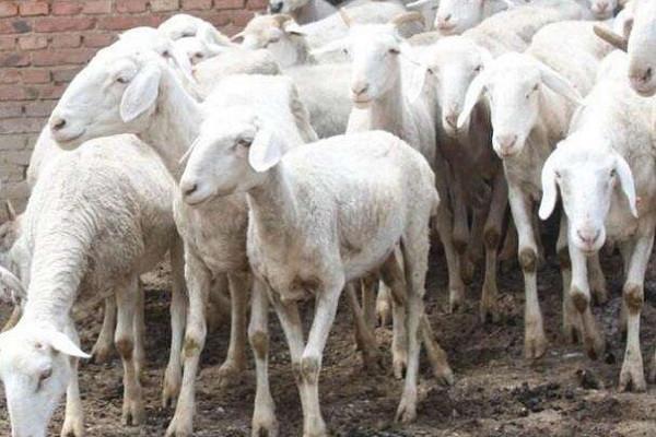 为什么你养的肉羊不赚钱?原因可能有这几个!