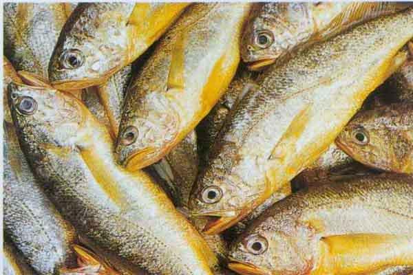 黄花鱼价格多少钱一斤?黄花鱼的池塘养殖技术有哪些?