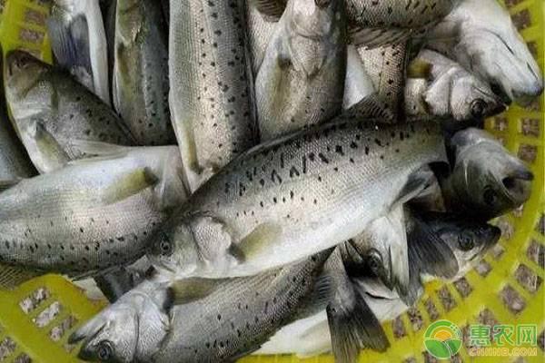 鲈鱼养殖管理