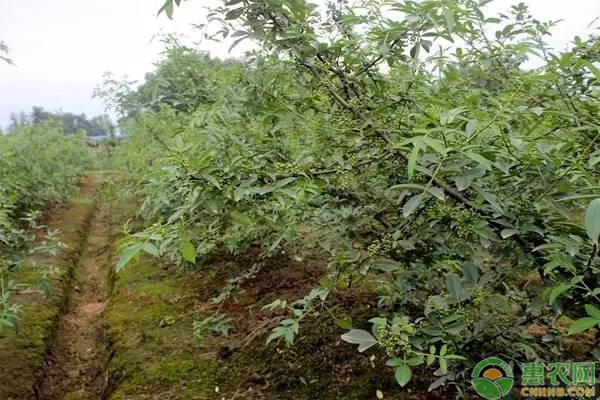 藤椒育苗栽培技术
