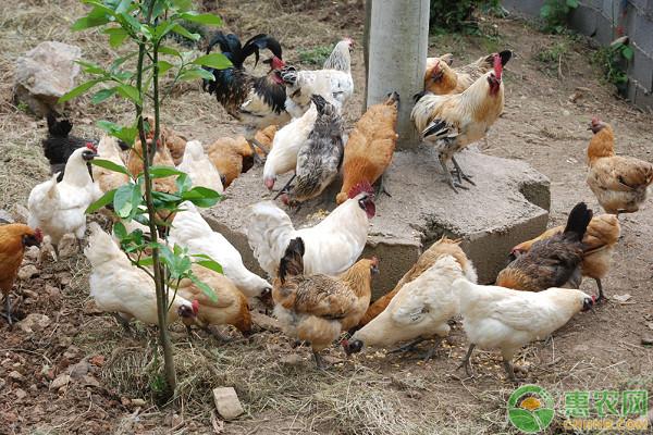 艾草养鸡有什么功效?看看老农是怎么说的