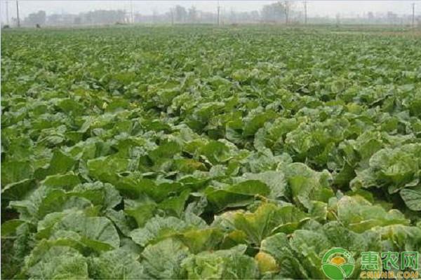 秋白菜苗期如何管理?这三点必须做到位!