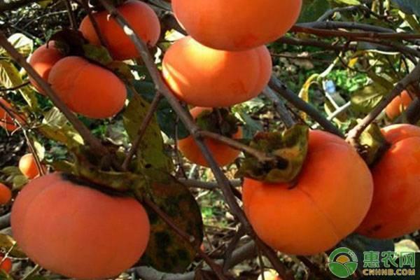 柿子有哪些品种?哪个品种最好吃?