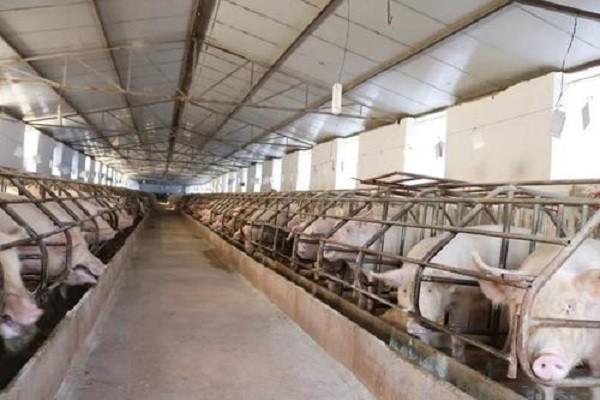 通知:中央出大招,生猪规模化养殖场建设补助最低不少于50万元