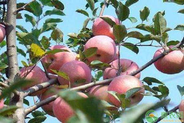 红富士苹果的脱袋事宜