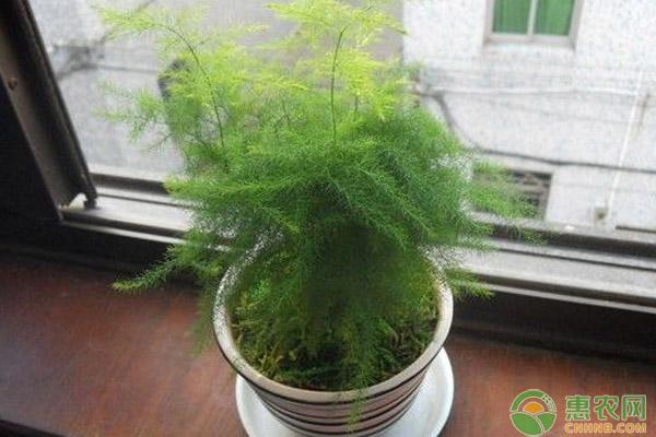 文竹的养殖方法和修剪技巧
