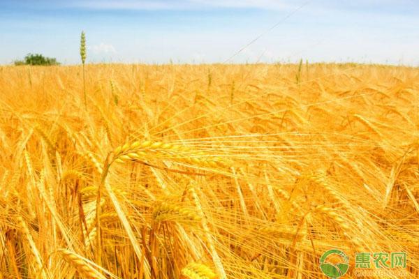 山东小麦价格走势分析