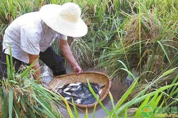 谷花鱼产业养殖