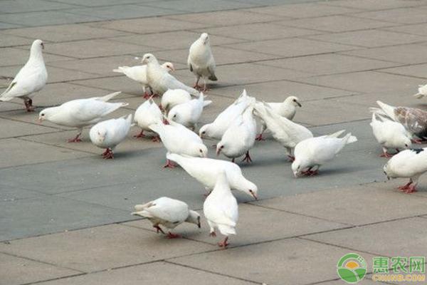 乳鸽一般多少钱一只