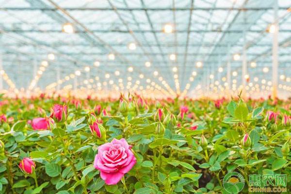 大学生创业种植玫瑰,深受市场欢迎,一年销售额达500万!