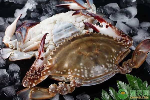 梭子蟹的养殖注意事项