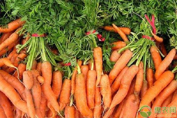 六大常见萝卜品种及其特性介绍