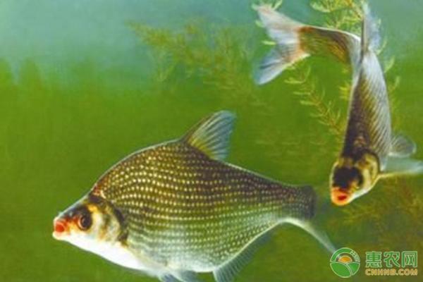 鳊鱼养殖技术