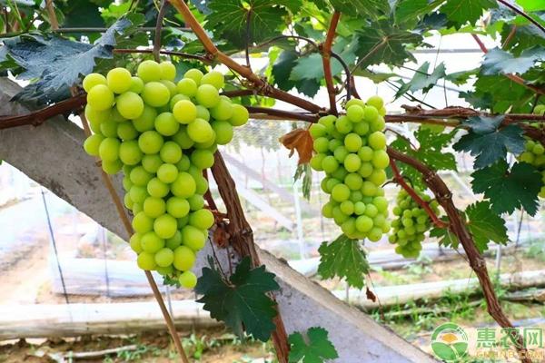 阳光玫瑰葡萄适合哪里种植
