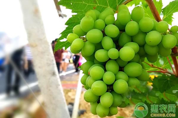 阳光玫瑰葡萄的市场前景