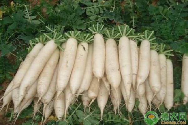 白萝卜和胡萝卜有什么区别?农民朋友选种哪个好?