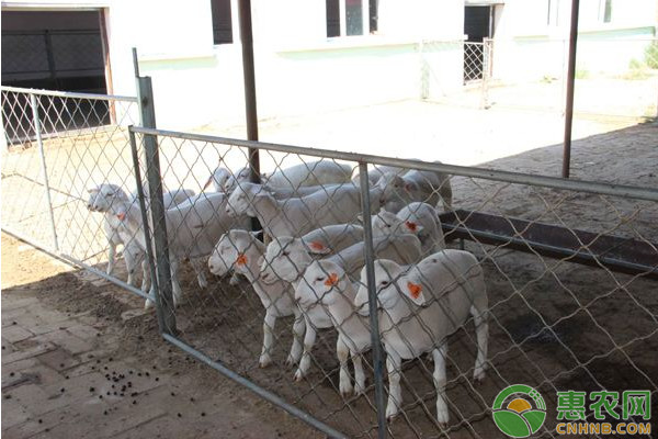 秋季养羊需注意这七大事项,养殖户要留意了!