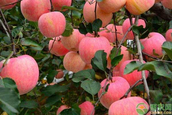 矮化苹果树早衰的应对方法