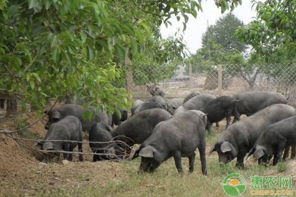 黑猪收购价多少钱一斤?黑猪肉和白猪肉有哪些区别?