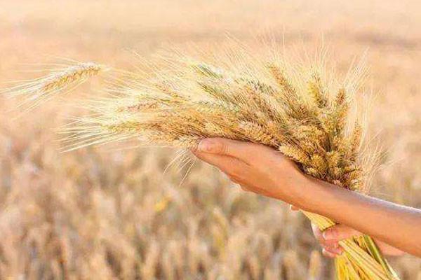 2019年粮价大涨吗?四大作物粮食最新价格行情分析