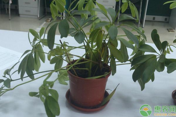 发财树浇水的正确方法,发财树黄叶掉叶如何做?