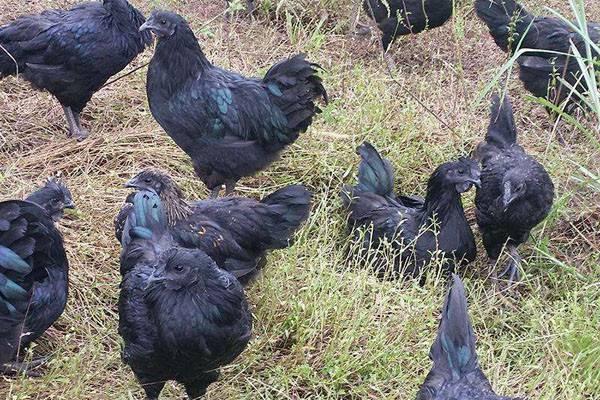 2019乌骨鸡价格多少钱一斤?有哪些功效和作用?(附养殖前景分析)