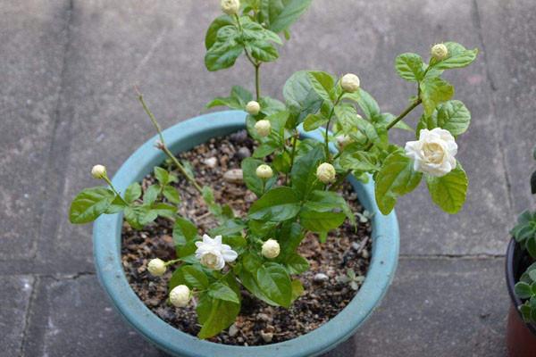 家里为什么不能种茉莉?茉莉盆栽正确的养护方法