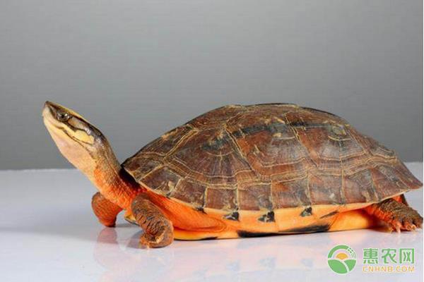 金钱龟的养殖技术