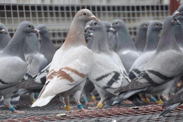 2019年肉鸽行情分析,肉鸽养殖的注意事项有哪些?