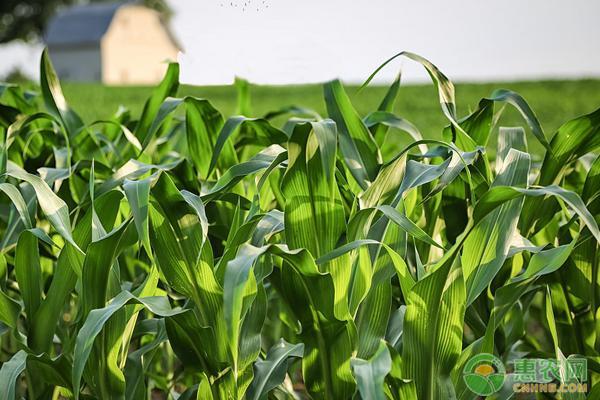 玉米种植技巧