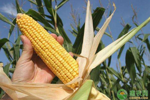 玉米高产追肥技巧