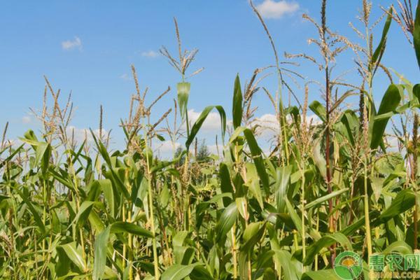 玉米追肥技巧