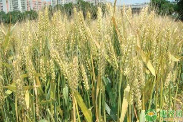小麦种子的购买事宜